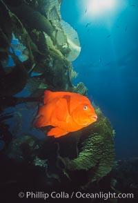 Garibaldi, southern California, Hypsypops rubicundus