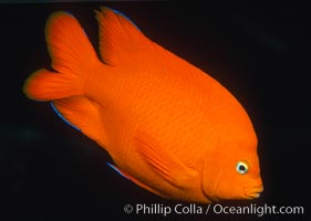 Garibaldi with a tiny bit of juvenile blue coloration, Hypsypops rubicundus