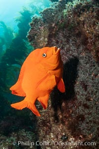 Garibaldi maintains a patch of algae (just in front of the fish) to entice a female to lay a clutch of eggs