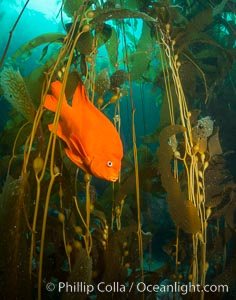 Garibaldi in kelp forest, Catalina Island