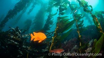 Garibaldi in kelp forest, near Eagle Rock, Catalina Island