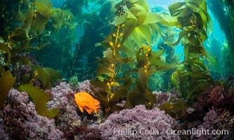 Garibaldi in kelp forest, Catalina Island