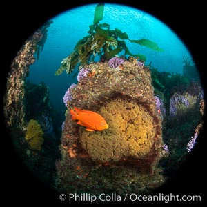 Garibaldi maintains a patch of orange algae (just in front of the fish) to entice a female to lay a clutch of eggs, Farnsworth Banks, Catalina Island, Hypsypops rubicundus
