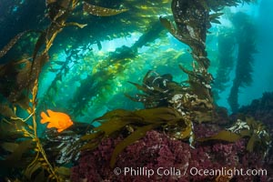 Garibaldi swims in the kelp forest, sunlight filters through towering giant kelp plants rising from the ocean bottom to the surface, underwater, Hypsypops rubicundus, San Clemente Island