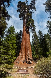 The General Grant Sequoia tree is the second-tallest living thing on earth, standing over 267 feet tall with a 40 diameter and 107 circumference at its base. It is estimated to be between 1500 and 2000 years old. The General Grant Sequoia is both the Nations Christmas tree and the only living National Shrine, memorializing veterans who served in the US armed forces. Grant Grove. Sequoia Kings Canyon National Park, California, USA, Sequoiadendron giganteum, natural history stock photograph, photo id 09862