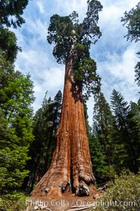 The General Grant Sequoia tree is the second-tallest living thing on earth, standing over 267 feet tall with a 40 diameter and 107 circumference at its base. It is estimated to be between 1500 and 2000 years old. The General Grant Sequoia is both the Nations Christmas tree and the only living National Shrine, memorializing veterans who served in the US armed forces. Grant Grove. Grant Grove, Sequoia Kings Canyon National Park, California, USA, Sequoiadendron giganteum, natural history stock photograph, photo id 09863