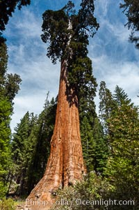 The General Grant Sequoia tree is the second-tallest living thing on earth, standing over 267 feet tall with a 40 diameter and 107 circumference at its base. It is estimated to be between 1500 and 2000 years old. The General Grant Sequoia is both the Nations Christmas tree and the only living National Shrine, memorializing veterans who served in the US armed forces. Grant Grove. Grant Grove, Sequoia Kings Canyon National Park, California, USA, Sequoiadendron giganteum, natural history stock photograph, photo id 09864