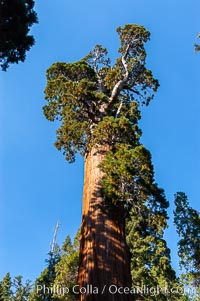 The General Grant Sequoia tree is the second-tallest living thing on earth, standing over 267 feet tall with a 40 diameter and 107 circumference at its base. It is estimated to be between 1500 and 2000 years old. The General Grant Sequoia is both the Nations Christmas tree and the only living National Shrine, memorializing veterans who served in the US armed forces. Grant Grove. Grant Grove, Sequoia Kings Canyon National Park, California, USA, Sequoiadendron giganteum, natural history stock photograph, photo id 09867