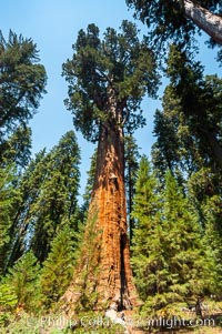 The General Sherman Sequoia tree is the largest (most massive) living thing on earth, standing over 275 feet tall with a 36 diameter and 102 circumference at its base. Its volume is over 53,000 cubic feet. It is estimated to be 2300 to 2700 years old, Sequoiadendron giganteum, Giant Forest, Sequoia Kings Canyon National Park, California