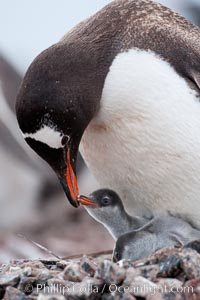 Gentoo penguin tending to its two chicks.  The nest is made of small stones. Cuverville Island, Antarctic Peninsula, Antarctica, Pygoscelis papua, natural history stock photograph, photo id 25507