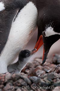 Gentoo penguin, adult tending to its single chick, Pygoscelis papua, Cuverville Island