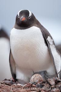 Gentoo penguin, with its egg on a nest of small stones, Pygoscelis papua, Cuverville Island