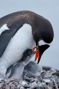Gentoo penguin tending to its two chicks.  The nest is made of small stones. Cuverville Island, Antarctic Peninsula, Antarctica, Pygoscelis papua, natural history stock photograph, photo id 25551