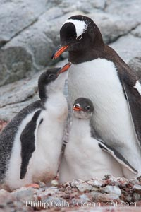 Gentoo penguin adult tending to its two chicks.  The chicks will remain in the nest for about 30 days after hatching, Pygoscelis papua, Peterman Island