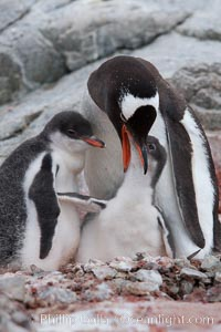 Gentoo penguin, adult feeding one of its two chicks.  The food is likely composed of crustaceans and krill, Pygoscelis papua, Peterman Island