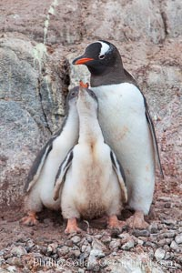 Gentoo penguin tends to two large chicks, Pygoscelis papua, Port Lockroy