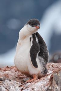 Gentoo penguin chick, Pygoscelis papua, Peterman Island
