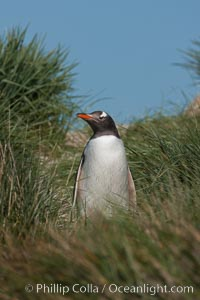 Magellanic penguin walks through tussock grass.  After foraging in the ocean for food, the penguin make its way to the interior of the island to rest at its colony, Pygoscelis papua, Carcass Island