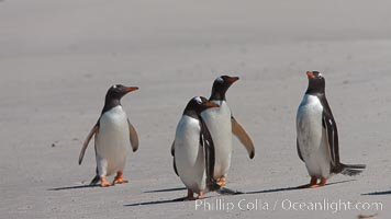 Gentoo penguins, Carcass Island. Falkland Islands, United Kingdom, Pygoscelis papua, natural history stock photograph, photo id 24008