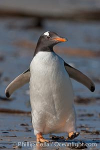 "Gentoo penguin.  Gentoo penguins reach 36"" in height and weigh up to 20 lbs.  They are the fastest swimming species of penguing, feeding in marine crustaceans and fishes, Pygoscelis papua, Carcass Island"