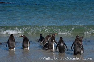 Gentoo penguins, Carcass Island, Pygoscelis papua