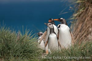 Mixed group of Magellanic and gentoo penguins, walk from the ocean through tall tussock grass to the interior of Carcass Island. Carcass Island, Falkland Islands, United Kingdom, Pygoscelis papua, Spheniscus magellanicus, natural history stock photograph, photo id 24044
