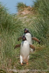 Magellanic penguins walk through tussock grass.  After foraging in the ocean for food, the penguins make their way to the interior of the island to rest at their colony. Carcass Island, Falkland Islands, United Kingdom, Pygoscelis papua, natural history stock photograph, photo id 24049