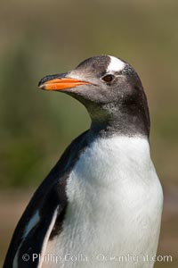 Gentoo penguin, portrait showing the distinctive orange bill and bonnet-shaped striped across its head, Pygoscelis papua, Carcass Island