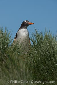Gentoo penguin, atop of hill of tall tussock grass, Pygoscelis papua, Carcass Island