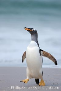 """Gentoo penguin coming ashore, after foraging at sea, walking through ocean water as it wades onto a sand beach.  Adult gentoo penguins grow to be 30"""" and 19lb in size.  They feed on fish and crustaceans.  Gentoo penguins reside in colonies well inland from the ocean, often formed of a circular collection of stones gathered by the penguins, Pygoscelis papua, New Island"""