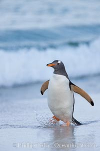 """Gentoo penguin coming ashore, after foraging at sea, walking through ocean water as it wades onto a sand beach.  Adult gentoo penguins grow to be 30"""" and 19lb in size.  They feed on fish and crustaceans.  Gentoo penguins reside in colonies well inland from the ocean, often formed of a circular collection of stones gathered by the penguins. New Island, Falkland Islands, United Kingdom, Pygoscelis papua, natural history stock photograph, photo id 23914"""