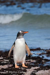Gentoo penguin, returning from the sea after foraging for crustaceans, krill and fish. Carcass Island, Falkland Islands, United Kingdom, Pygoscelis papua, natural history stock photograph, photo id 23968