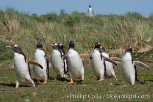 Gentoo penguins, walking over short grass to their colony on Carcass Island, Pygoscelis papua