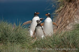 Mixed group of Magellanic and gentoo penguins, walk from the ocean through tall tussock grass to the interior of Carcass Island, Pygoscelis papua, Spheniscus magellanicus