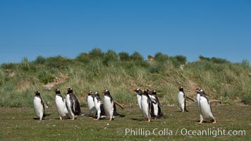 Gentoo penguins, walking over short grass to their colony on Carcass Island, Pygoscelis papua