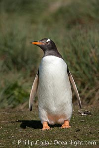 Gentoo penguin, walking over short grass to their colony on Carcass Island, Pygoscelis papua