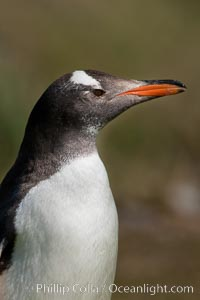 Gentoo penguin, portrait showing the distinctive orange bill and bonnet-shaped striped across its head, Pygoscelis papua, Carcass Island, d 0.814816 0.348478, Falkland Islands, United Kingdom
