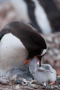Gentoo penguin feeding its chick, the regurgitated food likely consisting of crustaceans and krill, Pygoscelis papua, Cuverville Island