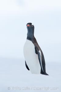 Gentoo penguin on pack ice, Neko Harbor, Pygoscelis papua