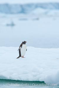 Gentoo penguin on pack ice, Pygoscelis papua, Neko Harbor