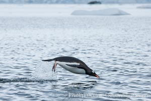 Gentoo penguin porpoising, leaping out of the water, Neko Harbor, Pygoscelis papua