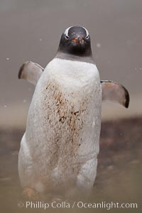 Gentoo penguin, walking through tall grass, snow falling, Pygoscelis papua, Godthul