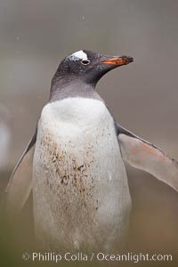Gentoo penguin, walking through tall grass, snow falling, Pygoscelis papua, Godthul