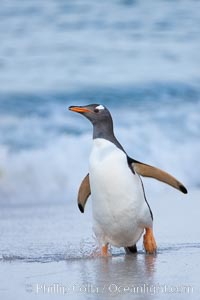 Image 23853, Gentoo penguin coming ashore, after foraging at sea, walking through ocean water as it wades onto a sand beach.  Adult gentoo penguins grow to be 30