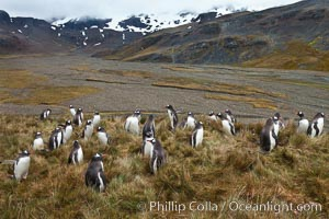 Image 24586, Gentoo penguins, permanent nesting colony in grassy hills about a mile inland from the ocean, near Stromness Bay, South Georgia Island. Stromness Harbour, South Georgia Island, Pygoscelis papua, Phillip Colla, all rights reserved worldwide. Keywords: animal, animalia, atlantic, aves, bird, brush-tailed penguin, chordata, gentoo, gentoo penguin, landscape, oceans, outdoors, outside, papua, penguin, pygoscelis, pygoscelis papua, scene, scenery, sea bird, seabird, south georgia island, spheniscidae, sphenisciformes, stromness harbour, united kingdom, vertebrata, vertebrate, wildlife.