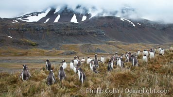 Gentoo penguins, permanent nesting colony in grassy hills about a mile inland from the ocean, near Stromness Bay, South Georgia Island, Pygoscelis papua, Stromness Harbour