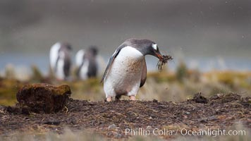 Gentoo penguin stealing nesting material, moving it from one nest to another. Godthul, South Georgia Island, Pygoscelis papua, natural history stock photograph, photo id 24703