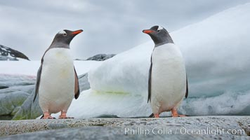Gentoo penguins, Peterman Island, Antarctica. Peterman Island, Antarctic Peninsula, Antarctica, Pygoscelis papua, natural history stock photograph, photo id 25613
