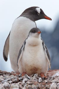 Gentoo penguins, adult and chick, on the nest, Pygoscelis papua, Peterman Island