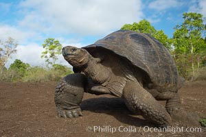 Galapagos tortoise, Santa Cruz Island species, highlands of Santa Cruz island. Galapagos Islands, Ecuador, Geochelone nigra, natural history stock photograph, photo id 16484